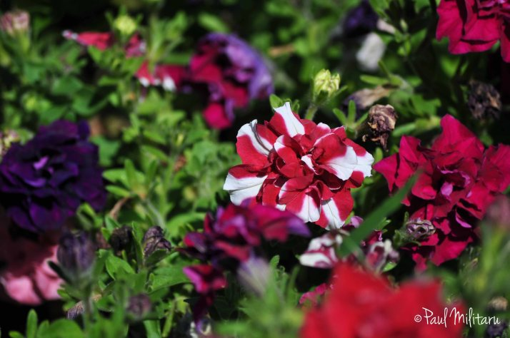 petunias in white and red